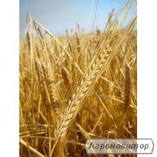 Семена ярового ячменя - сорт СТАЛКЕР. Элита и 1 репродукция