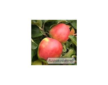 Саджанці яблук Лігол