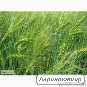 Семена ячменя озимого - сорт Наоми