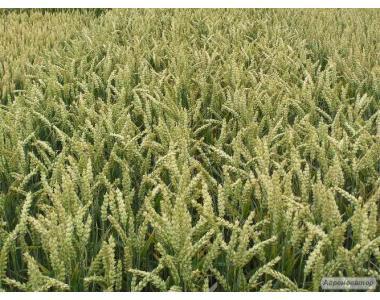 Пшеница 3-го класса