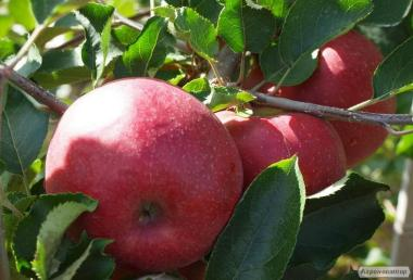 Саженцы яблони сорта Ред Джонапринц, от производителя