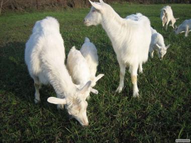 Продам дійних кіз