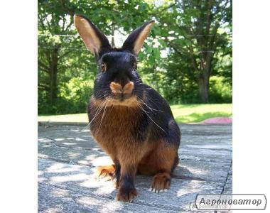 продам племінних кроликів чорно вогняних