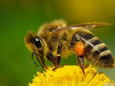 Продам пчелопакеты - пчелосемьи