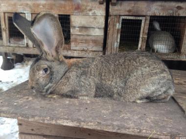 Продам кроликов породы Фландр