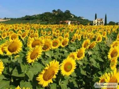 Насіння соняшнику Армагедон під евролайтинг, 110 днів