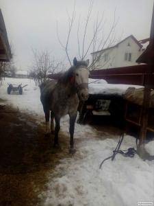 продам пару крупных лошадей