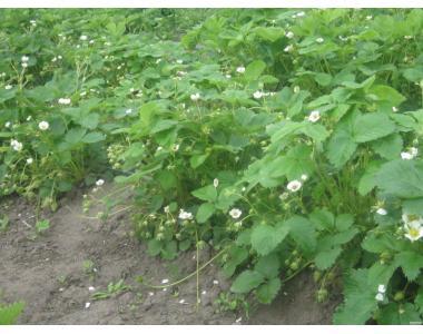 Саджанці полуниці ірма