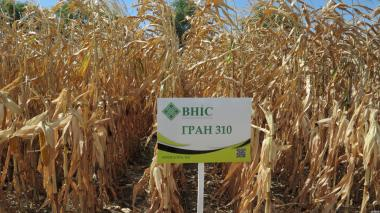 Семена Кукурузы  Гран 310 ФАО 250 напрямую от ВНИС