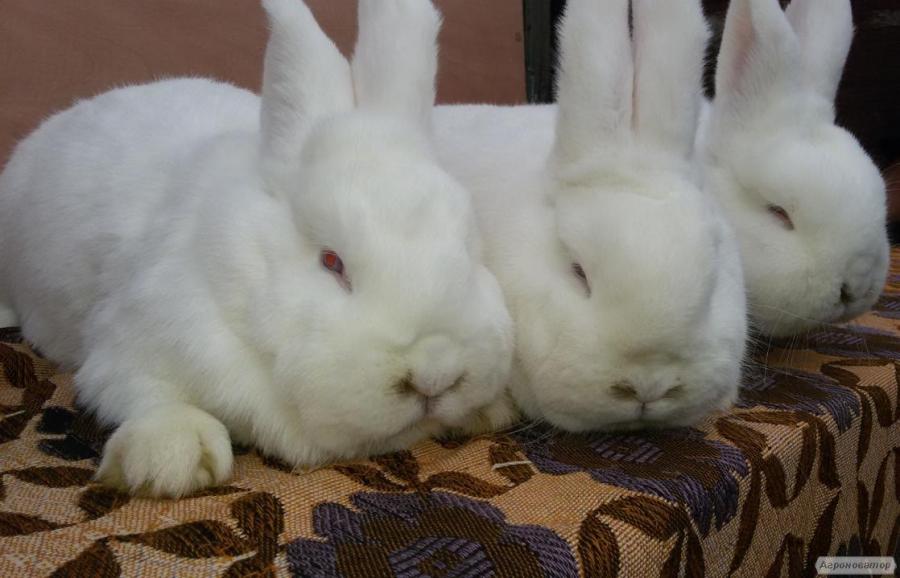 Кролики Новозеландські Білі(від хороших виробників)