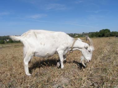 Кози породи Ламанча