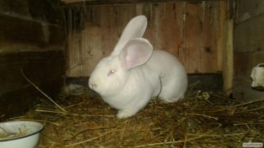 Продам кролів - білого велетня, шиншилу, французького барана.