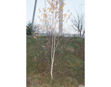 Продам саджанцы берёзы и лиственных деревьев