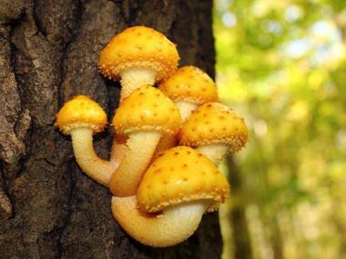 Міцелій Чешуйчатки золотистої / Верболіз (Pholiota aurivella)