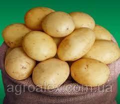 Електра сорт картоплі 1 репр. 16грн/кг