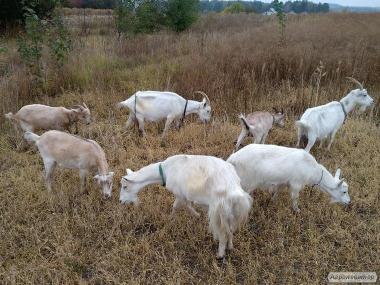 Продам недорого кози і племінного козла молочної породи.