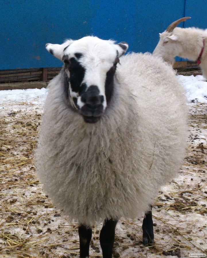Потрібно стригалі для овець