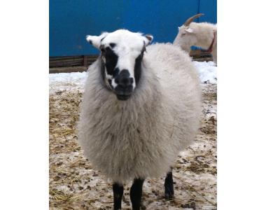 Требуется стригаль для овец