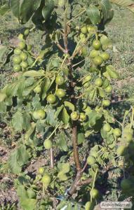 Саджанці горіха волоського сорт