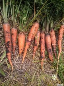 Продам моркву молоду