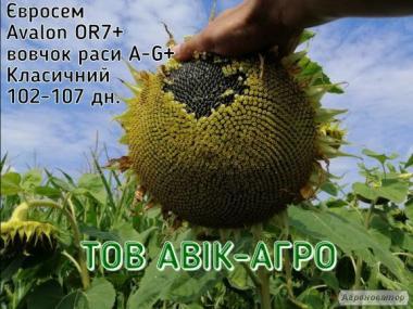 Семена подсолнечника Avalon OR7+, Євросем