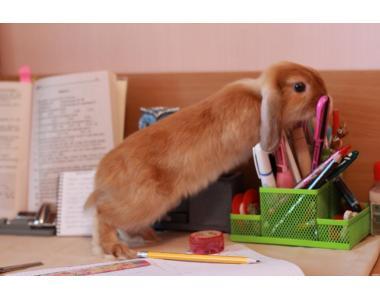 кролики Mini Lop\NHD самка ,носитель сатина.NHD