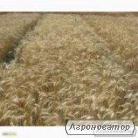 Семена пшеницы озимой - сорт Солоха. Элита и 1 репродукция