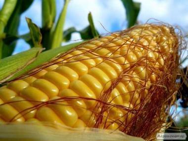 Закупаем кукурузу, пшеницу, подсолнух