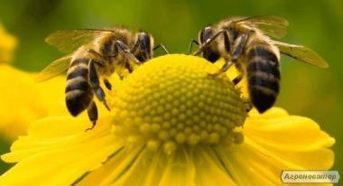 Продам бджолопакети, бджолосім`ї.
