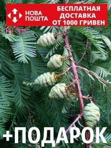 Метасеквойя глиптостробоидная семена (50 шт)