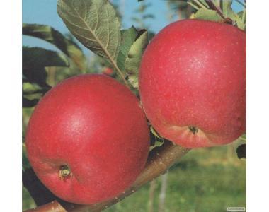 Саджанці яблуні сорту Руж Розі, від виробника, відмінної якості