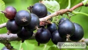 Саженцы смородины черной Козацкая