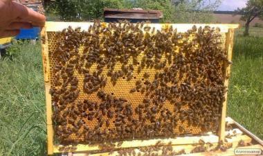 Куплю Бджолопакети