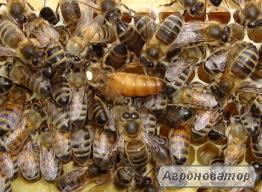 Куплю Пчелопакеты