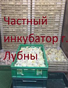 Цыплята бройлера КОББ 500 , РОС 308