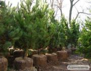Саженцы елки и ели