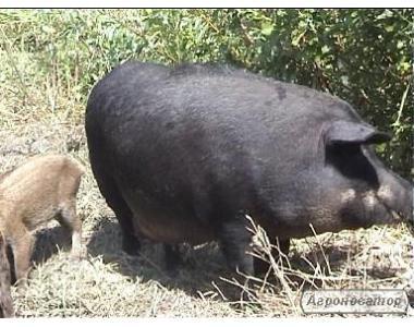 Продам свиней породы мангал \испанская мангалица\