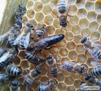 Пчеломатки - Карпатка (2018)