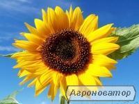 """Семена Подсолнечника """" Фабиола КС"""""""
