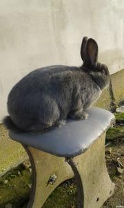Віденський Голубий кролик. Робоча самка