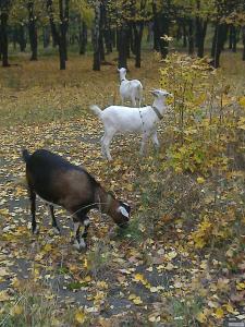 Продаю козы+козлы