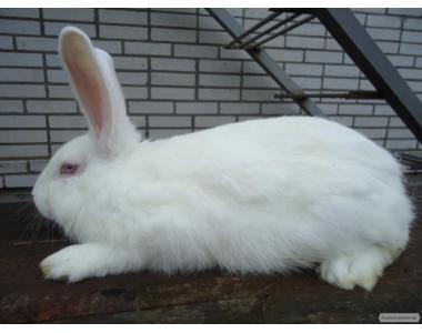 Кролики паннон