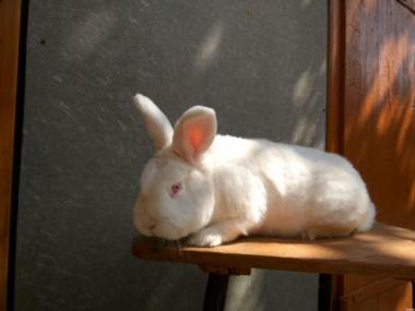 Кролик породы Новозеландских белый