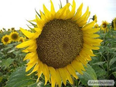 Продам насіння соняшника НС Имисан (евролайтнинг)