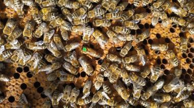 Пчеломатка Карника Рeschetz F1