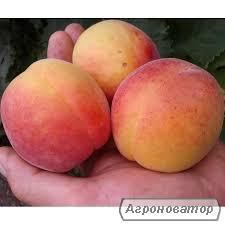 Саджанець абрикоса NGA 19