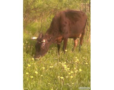 Продам корову Джерсейської породи