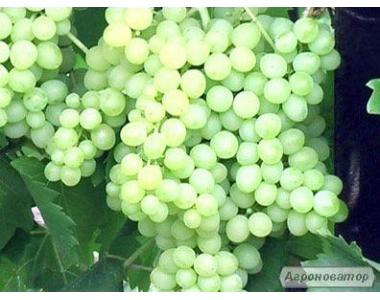 Саженцы винограда Кишмиш, Юпитер