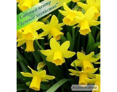 Нарциссы, оптом, садовые цветы, 8 Марта, Киев, питомник