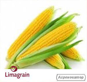 Купити кукурудзу ЛГ 2244